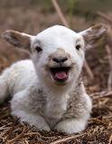 Laughing lamb