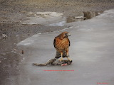 Red Shouldered Hawk with home made jerky