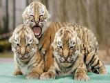 tiger babe
