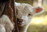 Tender lamb