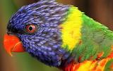 #Rainbow Parrott