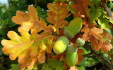 ^ Nuts fresh acorn oak tree leaves autumn