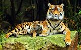 Tigers-animals-baby-animals