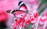 #Pink Butterfly