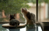 Cats look at the rain outside the window