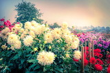 Garden, flowers, dahlias, autumn