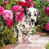 Dalmatian Puppy...