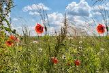 Blumenwiese -Mohnblume