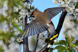Spring. Bird the Waxwing