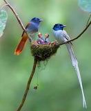 Birds - Kingfishers and chicks