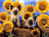 Sunflower Kittens...