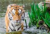 150 Tigre - Tiger