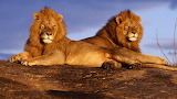 Two Lions...