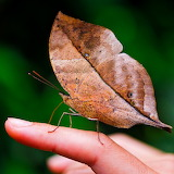 *Leaf Butterfly...