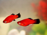 Tropical Red Wag Platy Fish