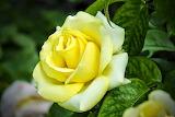Yellow-roses1