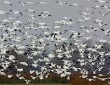 Snow Geese at Gray Lodge
