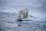 Polarbear Wexler