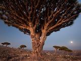 Dragons-blood-trees-moffett_59618_990x742