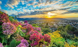 Hortensias - Austria