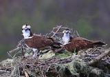 Pair of Young Aspreys Gold Beach Oregon USA