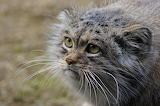 Mongolian Pallas cat