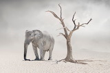A Lonely Elephant in an Arid World
