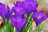 #Purple Crocuses