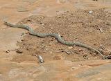 Desert Snake Utah