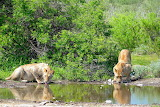 Lions Taking a Drink