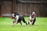 Dog Breed - Boston Terrier (2)