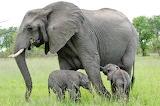 elephant mom with cub