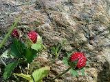 Wild Strawberry 03