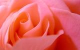 00942_pinkrose_1920x1200
