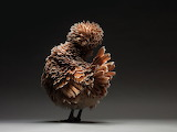 Inspiring Most Beautiful Rare Chickens Breeds on The Planet (19)