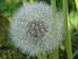 dandelion pissenlit