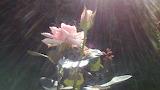 Роза в лучах солнца