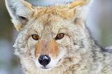 Jason Savage Photography Coyote