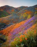 California wild flower