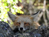 Dogs - Snoozing Fox