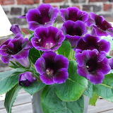 ^ Purple Gloxinia