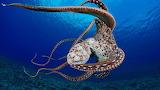 Pop - Octopus