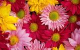 Colored chrysanthemums