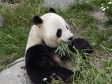 Hungry Panda ZOO Copenhagen Denmark