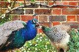 Birds-peacocks-animals