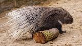 Stachelschwein/ Porcupine