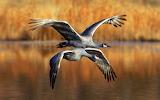 New Mexico Sandhill Cranes