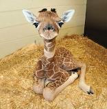 Wee Baby Giraffe