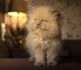 Blue-eyed fluffy kitten
