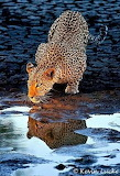 big cat drink in river
